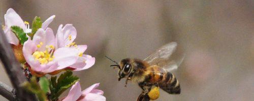 abeille - wikipédia - Ateliers Mercredis Sciences - Lab'bio